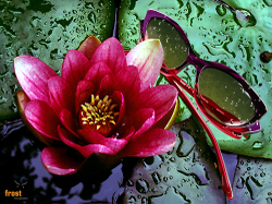 Water_lily1