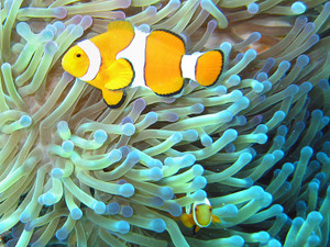 800pxcommon_clownfish