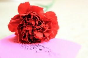 Carnation_01
